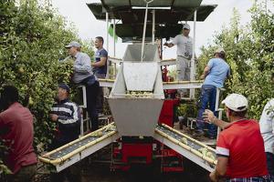 Pla curt on es pot veure una màquina i treballadors recol·lectant peres a Lleida
