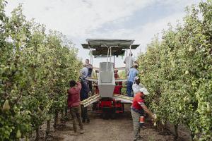 Pla mitjà on es pot veure una màquina i treballadors recol·lectant peres a Lleida