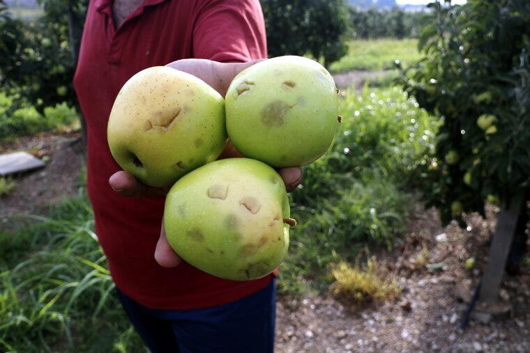 Detall de tres pomes danyades per la pedra.