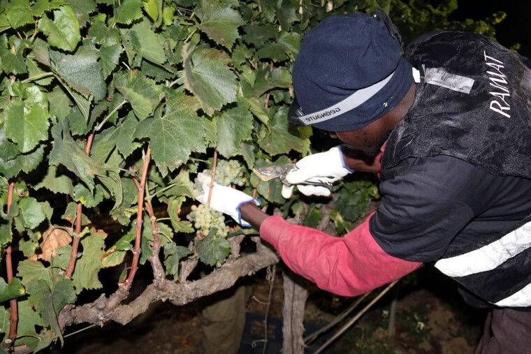 Un treballador de Raimat collint raïm manualment i durant la nit