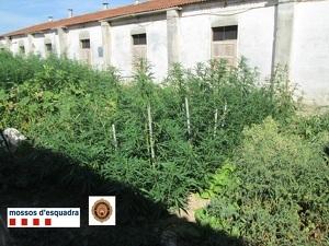 Imatge de la plantació de marihuana trobada a Agramunt