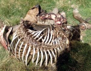 Imatge de les restes de l'euga morta per un atac de l'os Cachou.