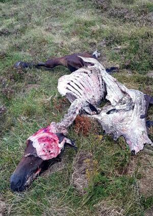 Imatges d'un animal mort per un atac d'os el 8 de setembre del 2019