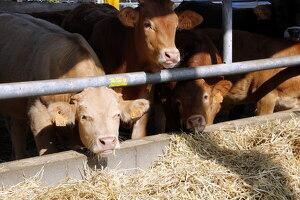 Pla mitjà on es poden veure diverses vaques menjant en una grana d'Alcarràs