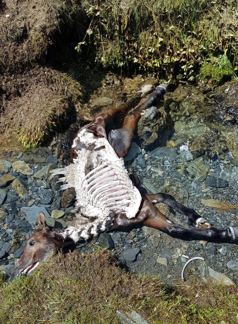 Imatge de les restes del poltre després de l'atac de l'os Cachou