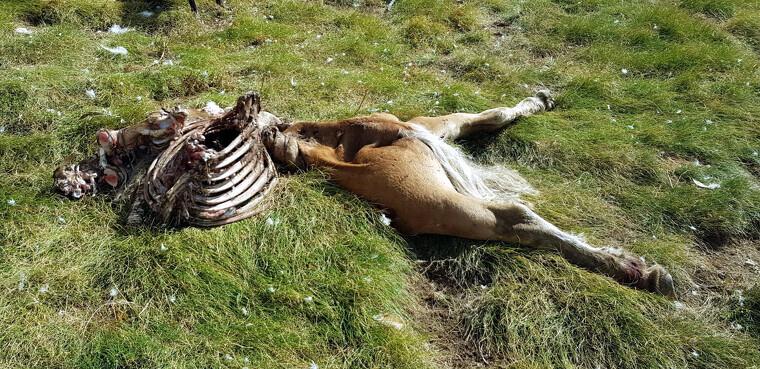 Imatge de les restes d'una euga morts després d'un atac de l'os Cachou