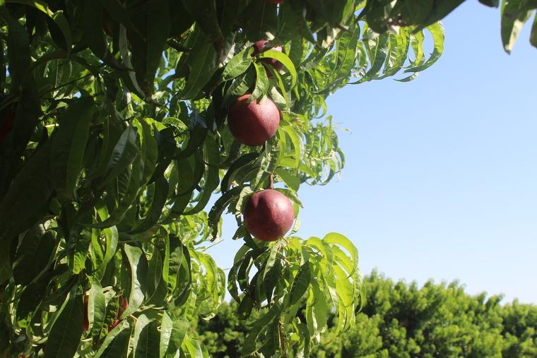 Imatge d'un arbre amb nectarines