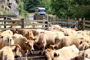 Un ramat de vaques esperant per ser carregades després d'haver baixat de la muntanya