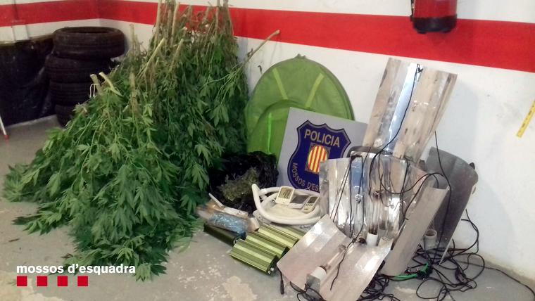 Imatge de les plantes de marihuana i altres objectes comissats a un habitatge de Viu de Llevata