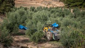 Imatge de la recol·lecció de l'oliva de les Garrigues