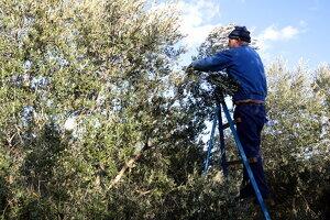 Pla sencer d'un pagès collint olives arbequines en una finca de Maials