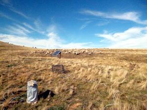 Pla general d'un camp amb un ramat d'ovelles pasturant