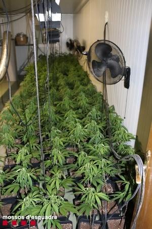 Imatge de plantació de marihuana trobada pels Mossos a les Garrigues