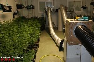 Imatge de la plantació de marihuana trobada aquest mes de gener del 2020 pels Mossos a les Garrigues