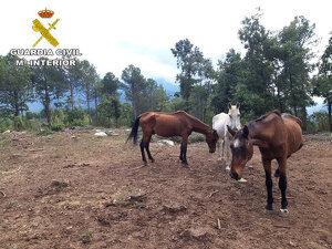 Alguns dels cavalls inspeccionats per la Guàrdia Civil