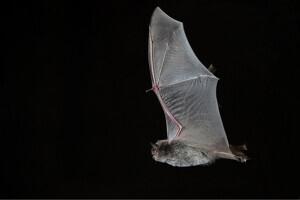 Pla curt d'un exemplar de ratpenat de l'espècie Myotis Capccini