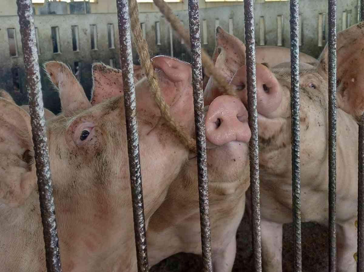 Imatge d'uns porcs en una granja