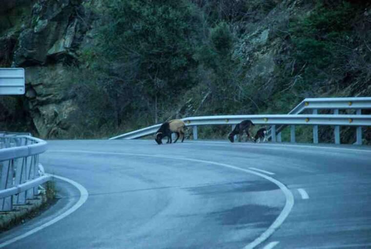 Pla general d'unes cabres llepant la sal de la carretera C-13, entre Rialp i Llavorsí, al Pallars Sobirà
