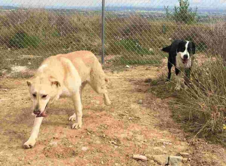 Imatge de dos gossos del Refugi del Peluts de Lleida