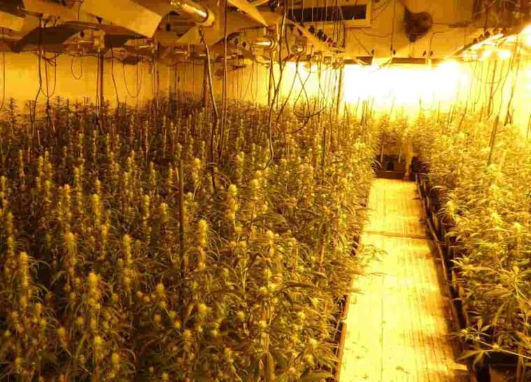 Imatge d'una planta de marihuana