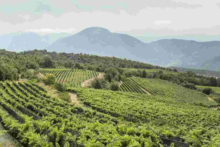 Imatge d'una vinya ecològica