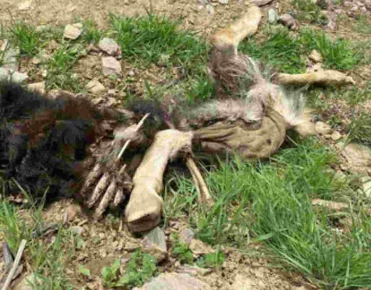 Pla mitjà on es pot veure un cap de bestiar atacat per l'os a la Val d'Aran