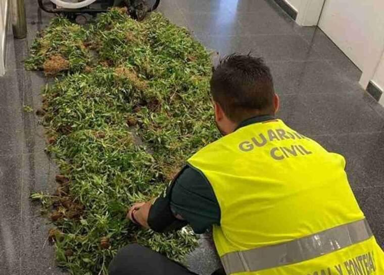 Imatge de marihuana intervinguda per la Guàrdia Civil