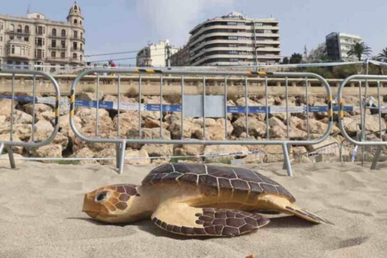 Pla detall d'una rèplica de tortuga babaua situada davant de l'espai on hi ha una posta d'ous