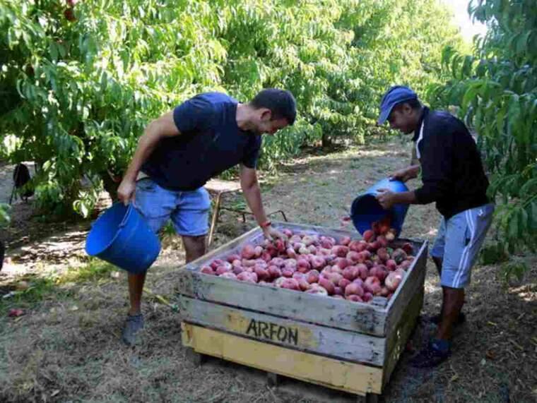 Pla obert de dos treballadors agraris deixant préssecs plans dins d'una caixa en una finca d'Aitona