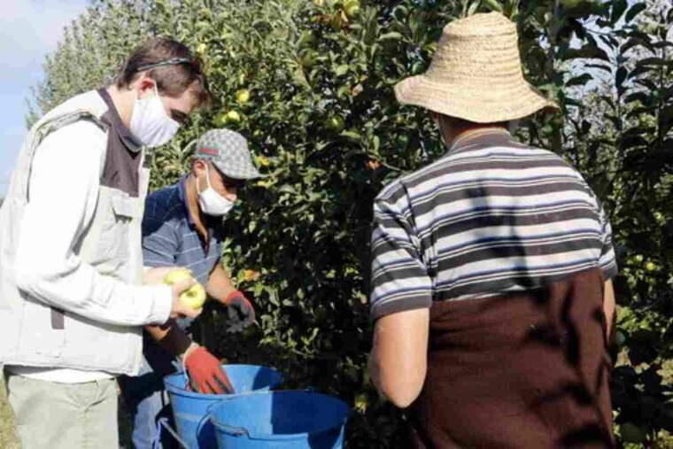 Pla mitjà on es pot veure el responsable de la fruita dolça d'UP, Bernat Ramon, collint pomes juntament amb dos temporers en una finca a Penelles