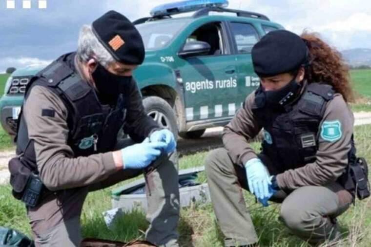 Pla obert de dos Agents Rurals inspeccionant un rapinyaire trobat mort en un vedat de caça de Verdú