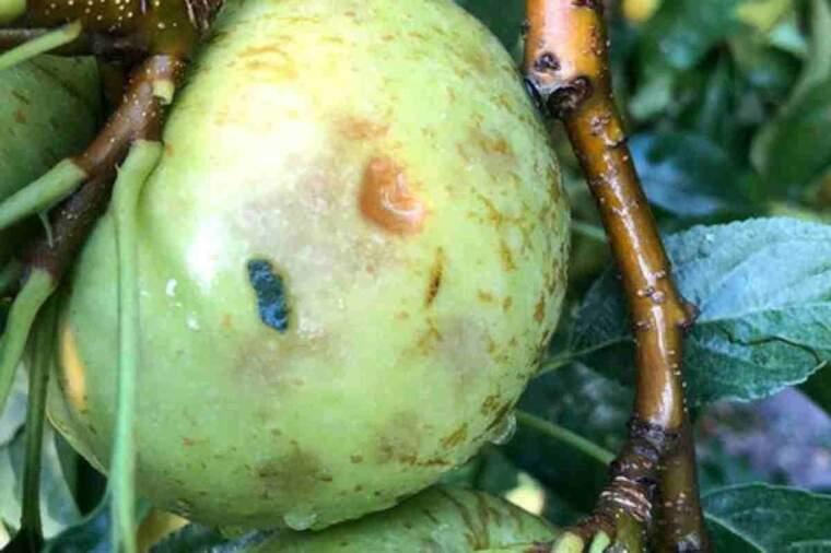 Primer pla d'una poma malmesa per la pedregada en un cultiu de La Sentiu de Sió