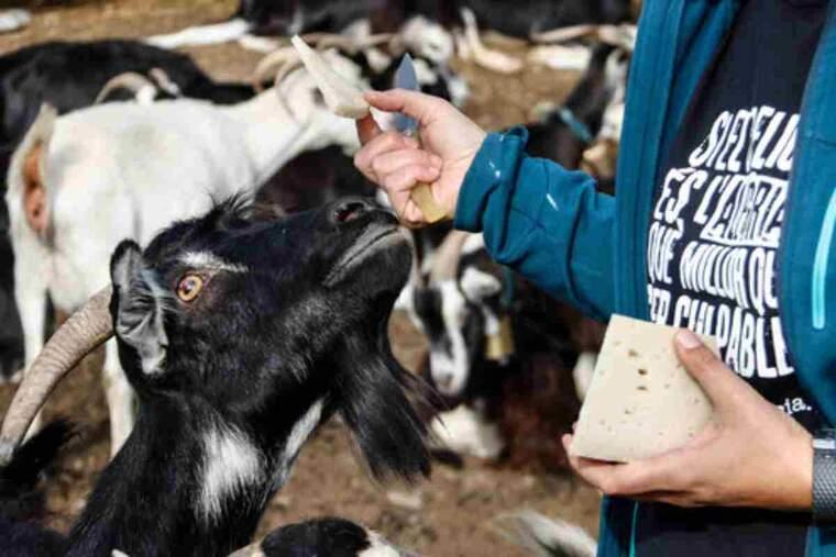 Pla de detall d'un tall de formatge i un ramat de cabres al darrera