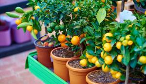 Pequeñas plantas frutales