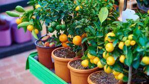 Árboles frutales con los frutos más dulces.