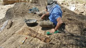 Aspecte d'un os de l'avantbraç d'un titanosaure, una ulna, recuperat al jaciment arqueològic de les Gavarres, a Isona