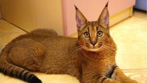 Exemplar de gat híbrid