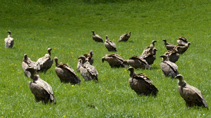 Imatge de diversos exemplars de voltor comú en un prat