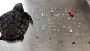 Imatge de la tortuga morta amb els 104 trossos de plàstic extrets del seu interior