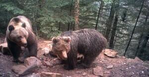 L'activitat depredadora de l'ós Goiat està incendiant els ànims dels ramaders de banda i banda del Pirineu