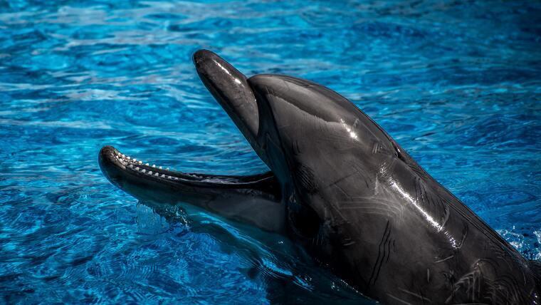 Imatge il·lustrativa d'un dofí