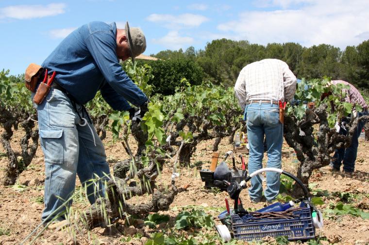Tres agricultors empeltant ceps d'una finca experimental de Cellers Torres a l'Alt Penedès