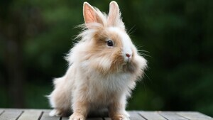 Find out everything about the Rabbit.