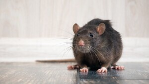 Read about the traits of the Rat, one of the 12 Chinese Zodiac Signs.