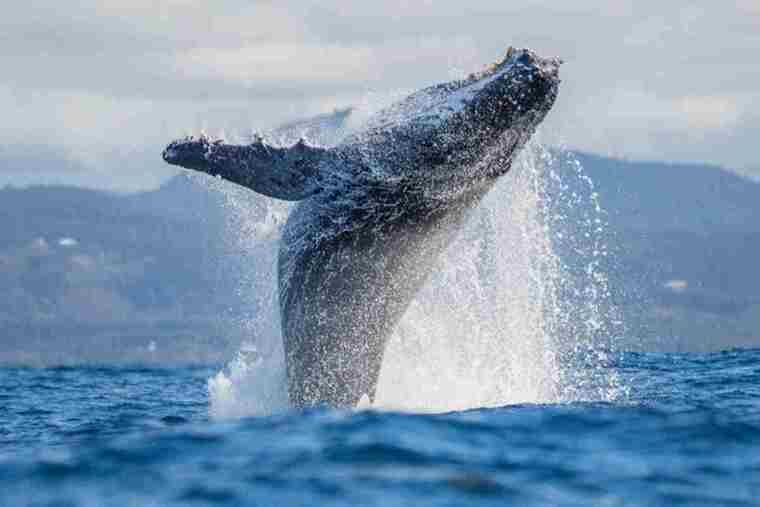 Imagen de un ejemplar de balena saltando en el mar