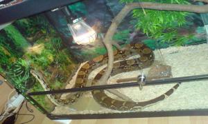 La serp només aplega als 50 centímetres