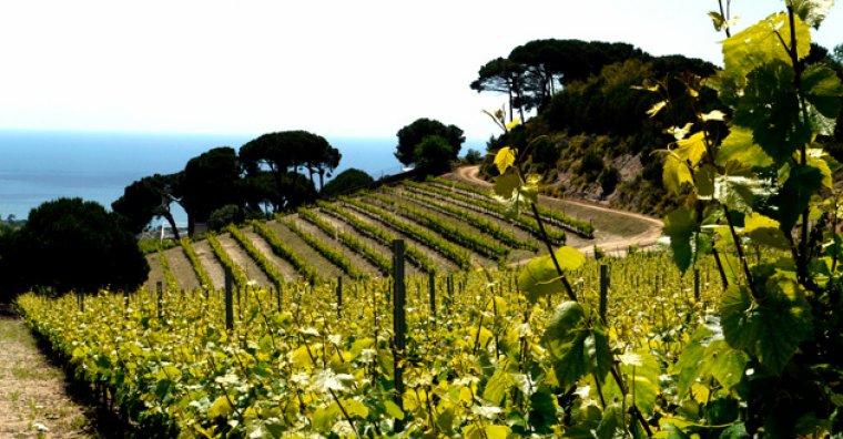 Panoràmica de les vinyes del celler Alta Alella