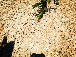 Còdols (macs de torrent) a la vinya de Ca'n Ribas