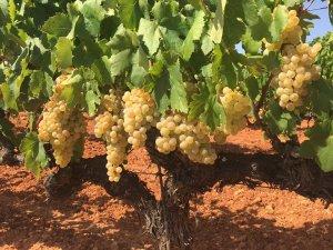 Vinya de xarel·lo de Caves Torelló