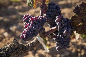 La moneu, la varietat ancestral que Torres ha recuperat per fer nous vins